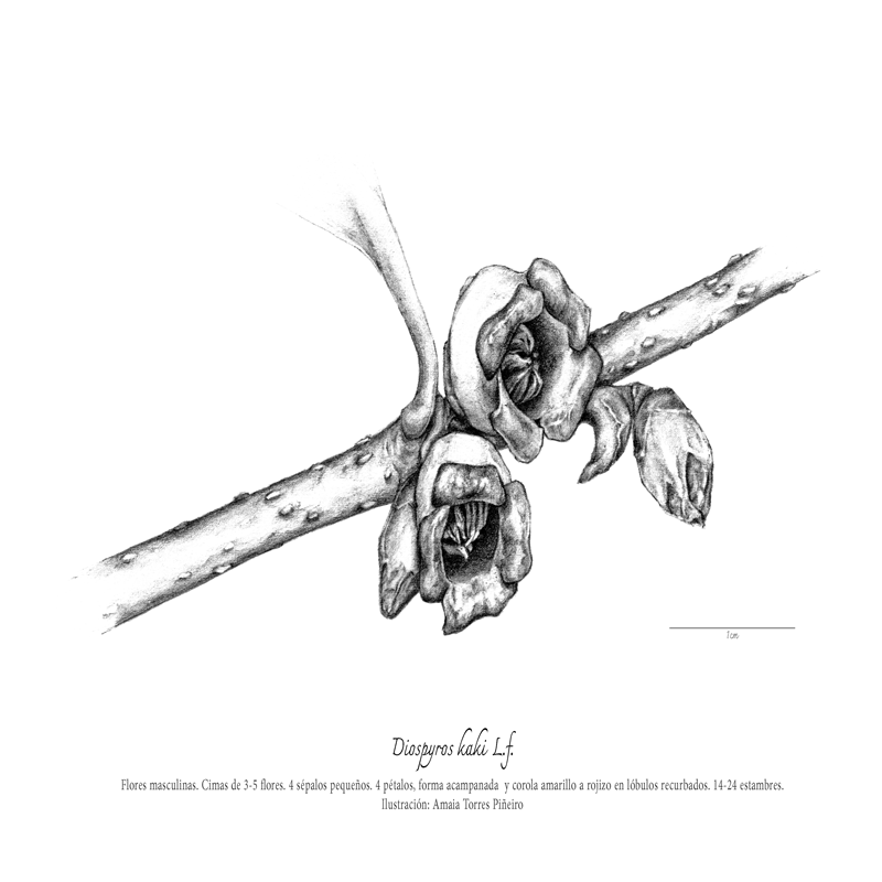 ARBORETUM_flor-masculinaweb