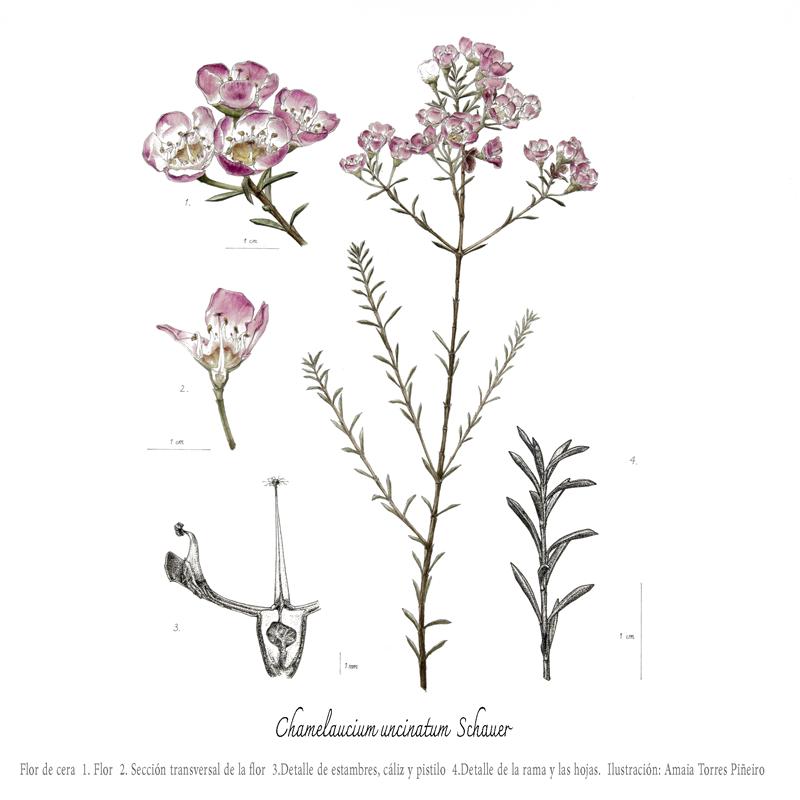 chamelaucium-uncinatum